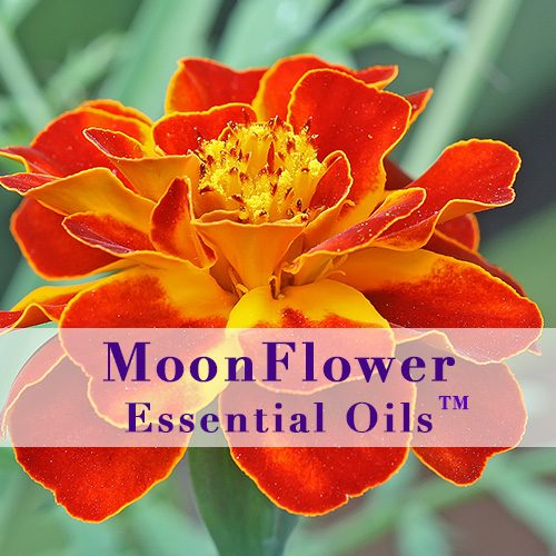 moonflower essential oils fungal clear image