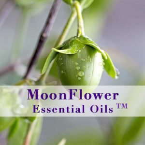 moonflower essences jojoba plant image