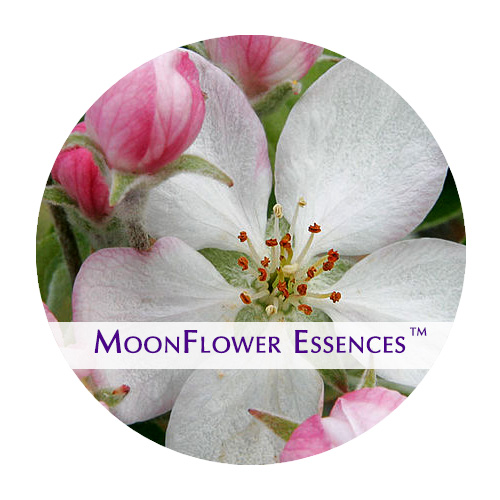 moonflower essences apple blossom image