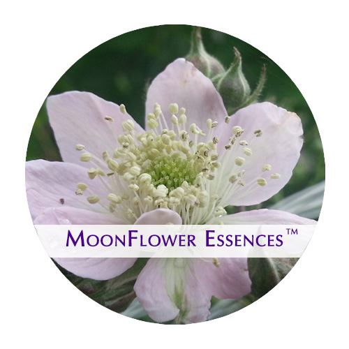 moonflower essences blackberry flower image