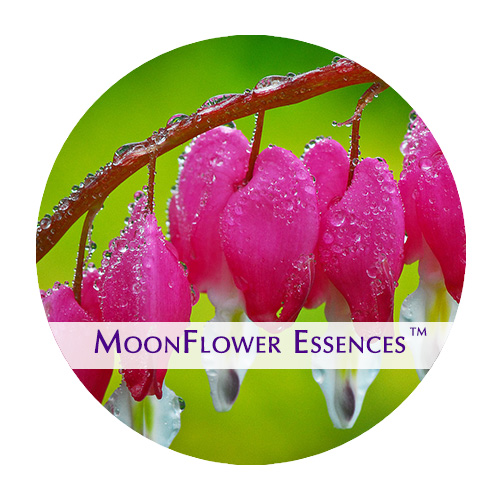 moonflower essences bleeding heart flower image