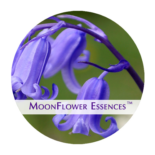 moonflower essences blue bell flower image