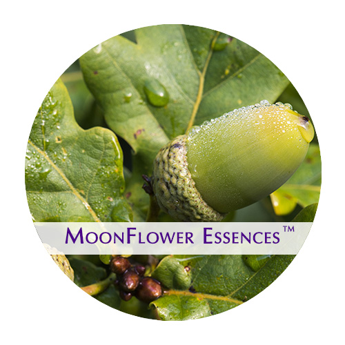 moonflower essence - acorn image
