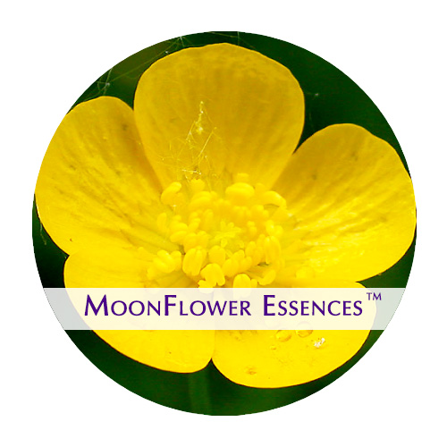 moonflower essences buttercup image