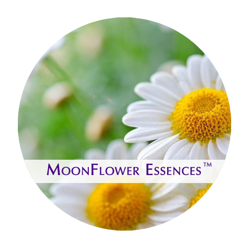 moonflower essences chamomile image