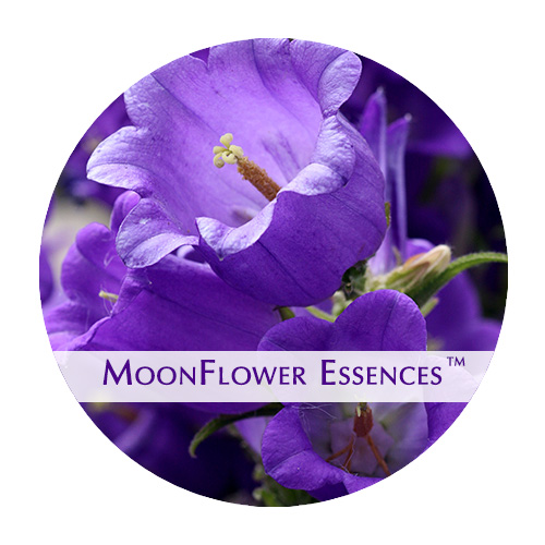 moonflower essence - cantebury flower image