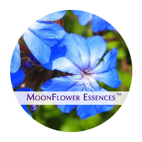 moonflower essence - cerato flower image