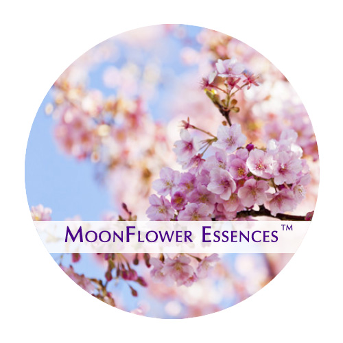 moonflower essences cherry blossom image