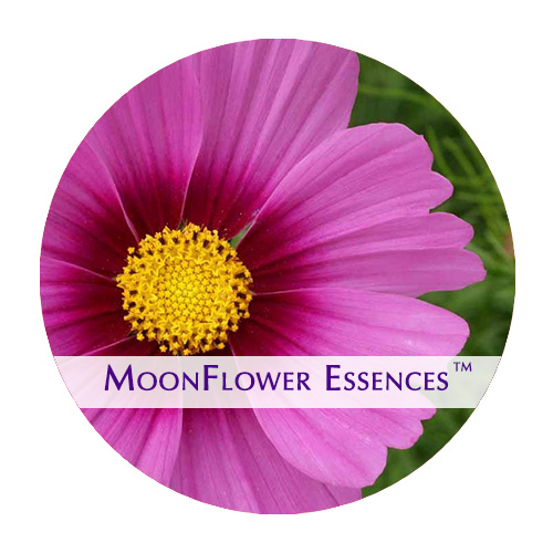 moonflower essences cosmos flower image