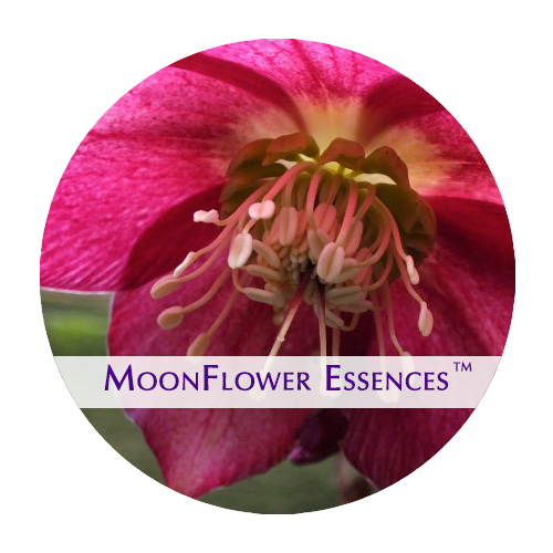 moonflower essence - hellibore flower image