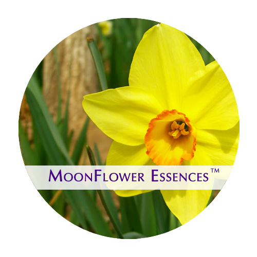 moonflower essences daffodil flower image