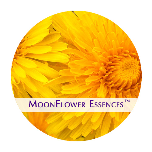 moonflower essence - dandelion image
