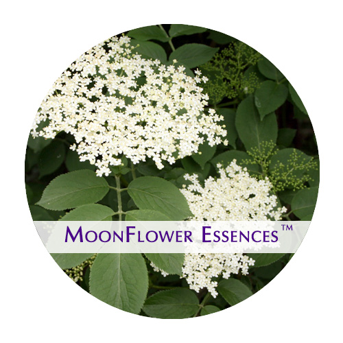 moonflower essence - elderflower image