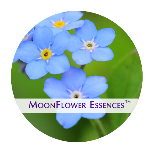 moonflower essences forget me not image