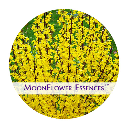 moonflower essences - forsythia image
