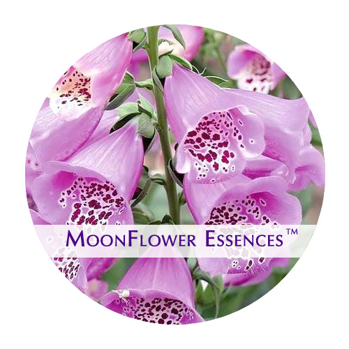 moonflower essence - foxglove image