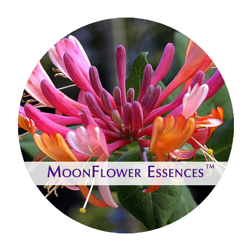 moonflower essence - honeysuckle image