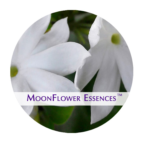 moonflower essence - jasmine image