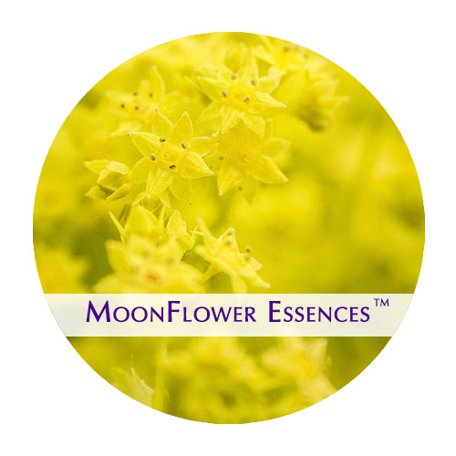 moonflower essence - ladys mantle image