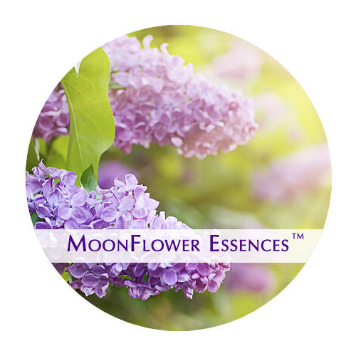 moonflower essences lilac image