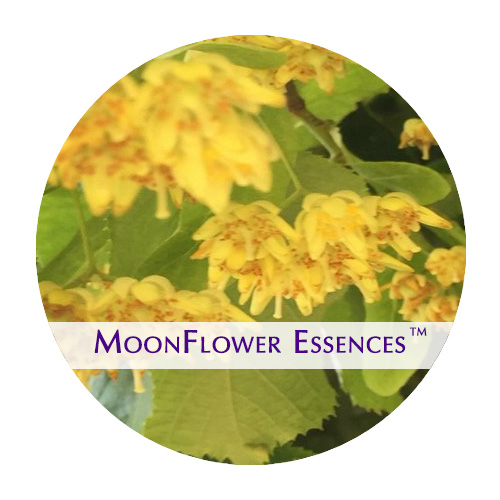 moonflower essences - linden flower image