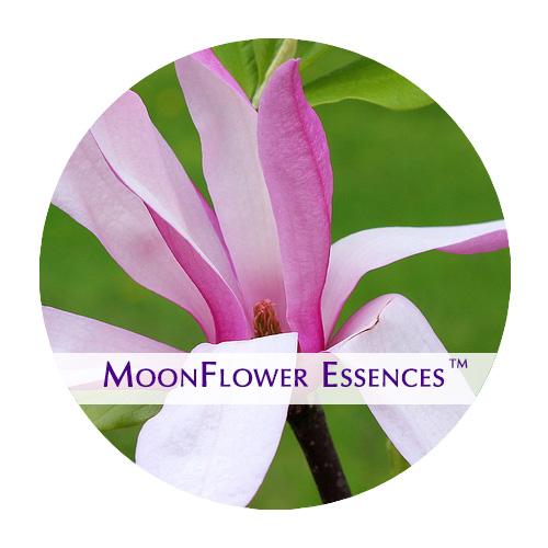 moonflower essences magnolia flower image