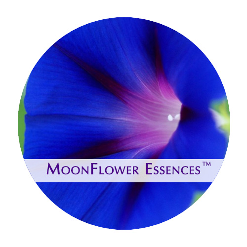 moonflower essence - morning glory image