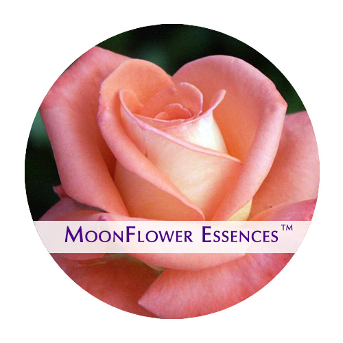 moonflower essence - orange rose image