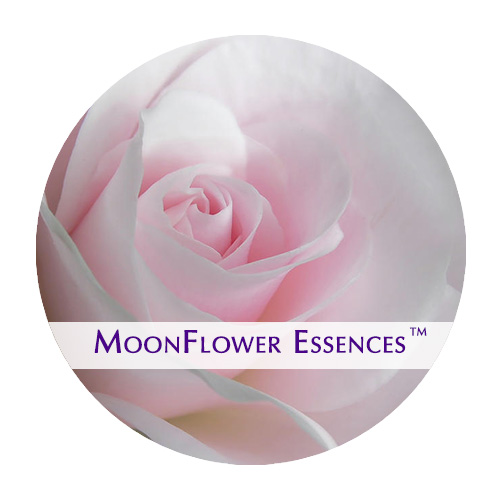 moonflower essence - pale pink rose image