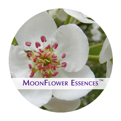 moonflower essences - pear flower image