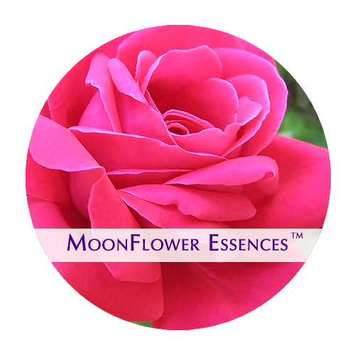 moonflower essence - pink rose image