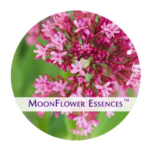 moonflower essence - pink valerian image