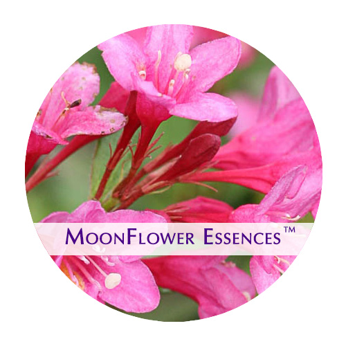 moonflower essence - pink weiglia image