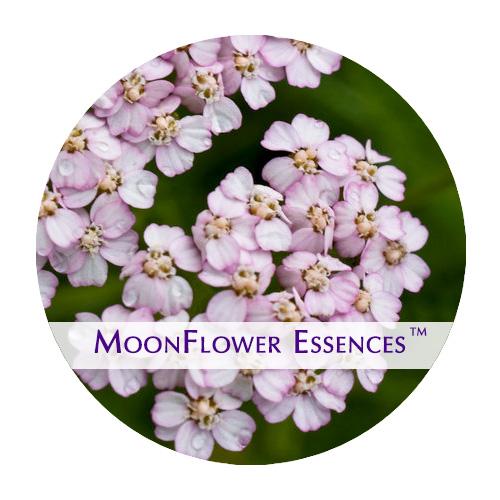 moonflower essence - pink yarrow image