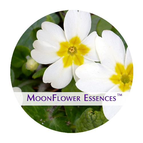 moonflower essence - primrose image