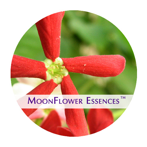 moonflower essences - red jasmine image