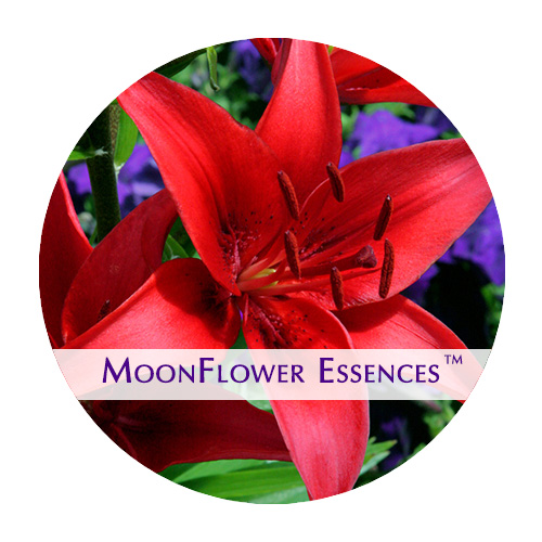 moonflower essences - red lily image