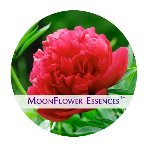 moonflower essence - red peony image