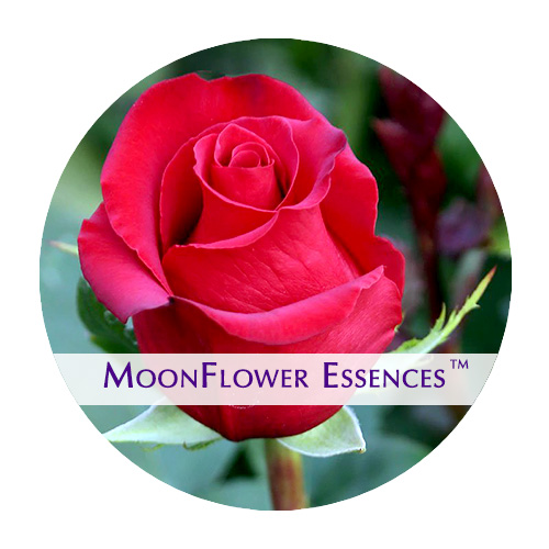 moonflower essence - red rose