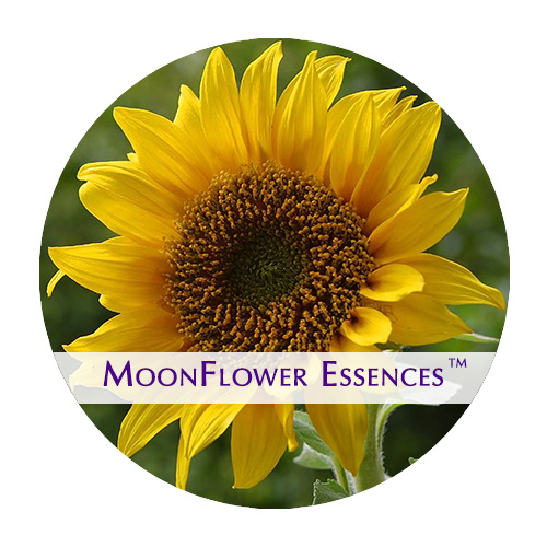 moonflower essences - sunflower image