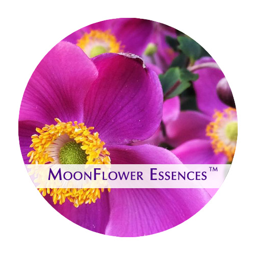 moonflower essences - windflower image