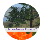 moonflower essences collection - sacred money archetype - ruler