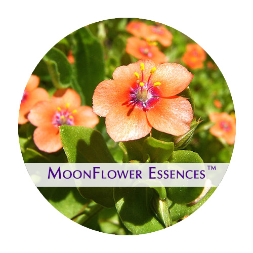 moonflower essence - scarlet pimpernel image