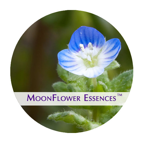 moonflower essences - speedwell flower image