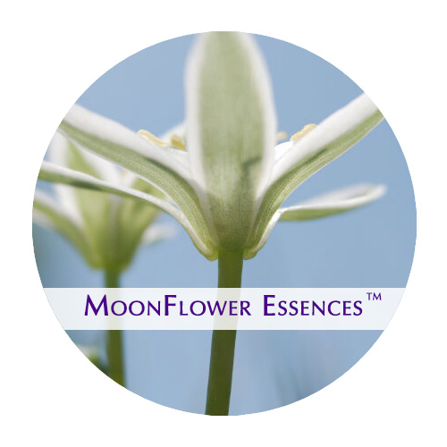 moonflower essence - star of bethlehem image