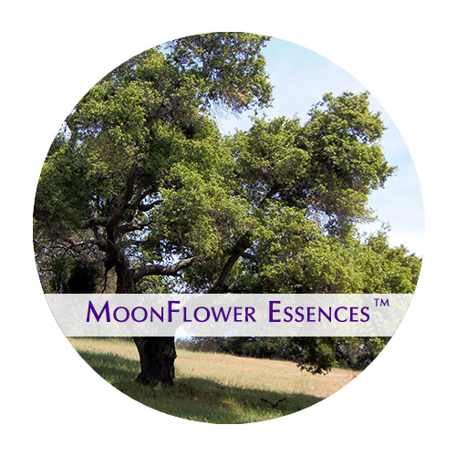moonflower essence - summer oak image