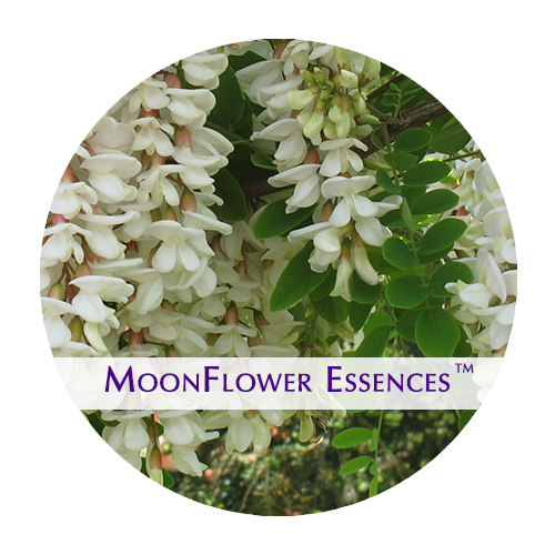 moonflower essences - white acacia image
