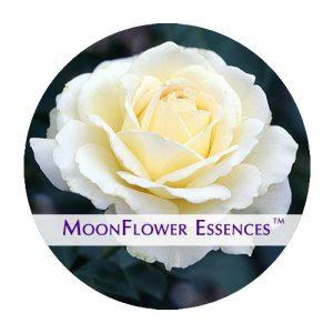 moonflower essence - white rose image