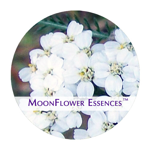 moonflower essence - white yarrow image