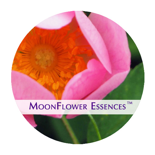 moonflower essence - pink rose